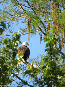 Eagle at Bayou Chevreuil
