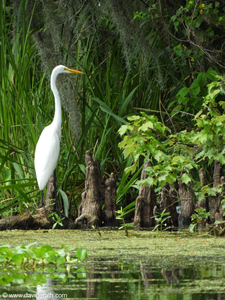 Egret at Honey Island Swamp