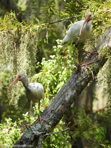 Two Ibis at Honey Island Swamp