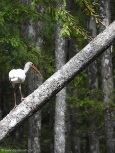 Ibis at Honey Island Swamp