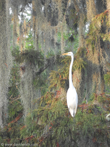 Egret at Bayou Segnette