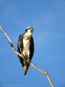 Hawk at Bayou Segnette
